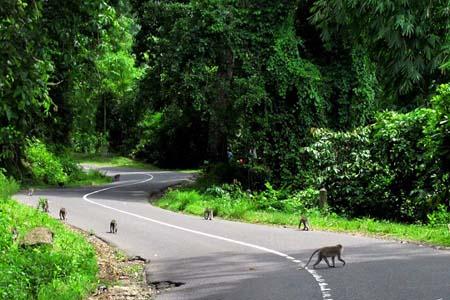 The monkeys at Pusuk Park