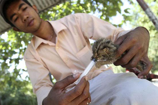 The staff is keeping a leopard cat kitten during a feeding session at Phnom Tamao Wildlife Sanctuary