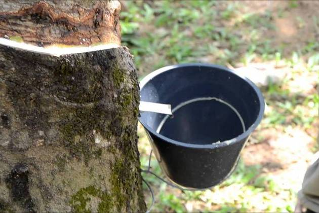 Taman Warisan Pertanian rubber trees