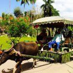 Buffalo riding in Villa Escudero