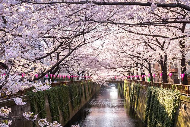 Hanami - Cherry Blossom Festival