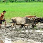 Buffalo in Thai Farming Life