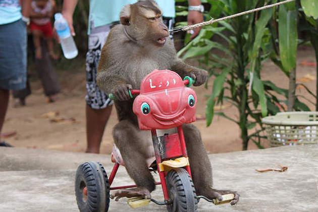 Koh Samui shore trips - monkey show