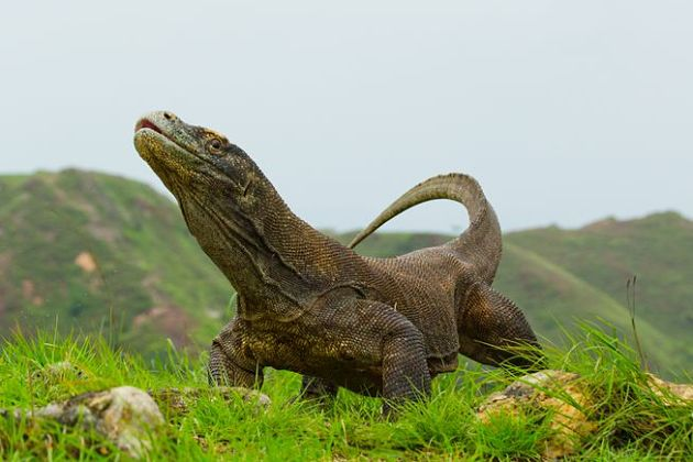 Komodo Dragon - Komodo shore excursions