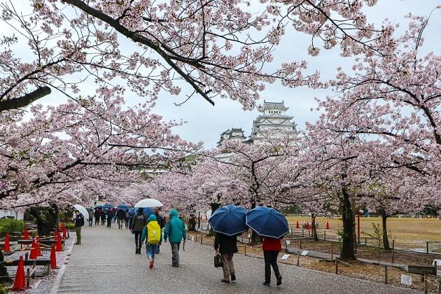 Places to See Cherry Blossoms – Himeji Castle