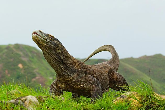 Komodo dragons - Komodo shore excursions