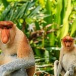 Proboscis Monkey Safari Brunei shore excursions