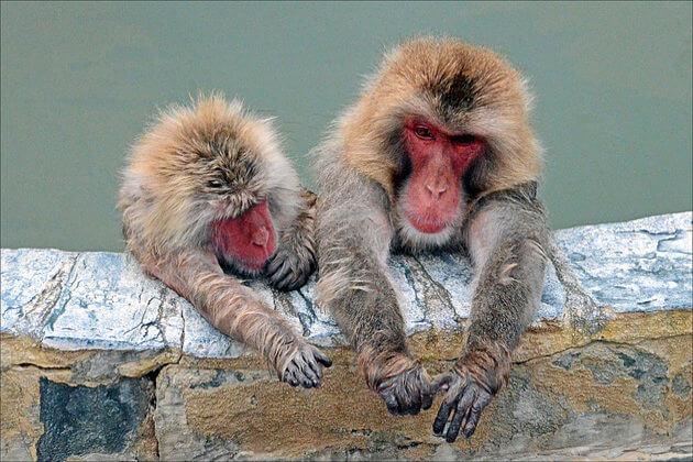 Hot-Tubbing-Monkeys-Hakodate-shore-excursions