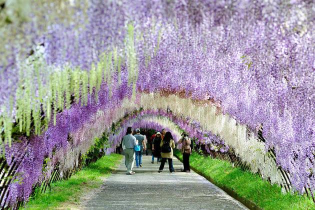 Kawachi Wisteria Garden-Kitakyushu