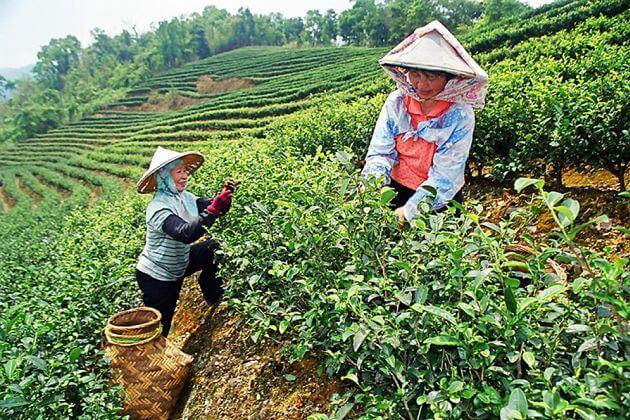 Tea Plantation Taipei shore excursions