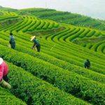 tea plantation Hangzhou Shanghai shore excursions