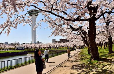 Goryokaku Park Cherry Blossom
